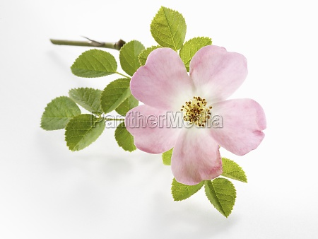 dogrose with leaves