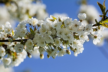white blooming cherry blossom branch in