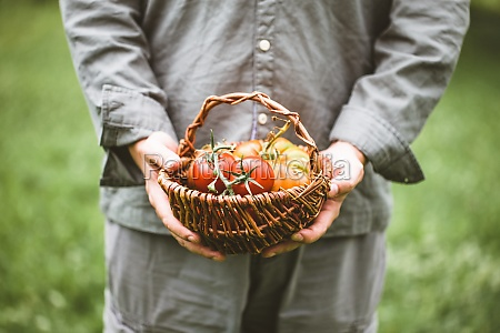 farmers hands with freshly harvested tomatoes