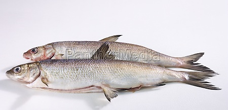 two whole fresh whitefishes
