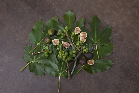 ripe figs fig tree sprigs and