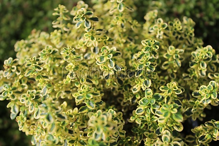 different thyme plants in the garden