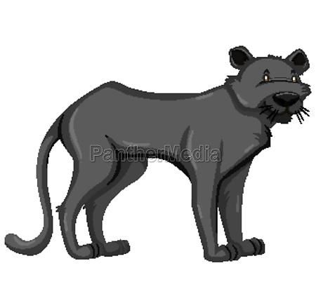 black panther wild animal on white