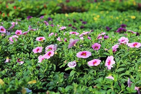 tables full of calibrachoa flowers growing