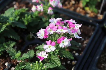 closeup of pink and white verbena
