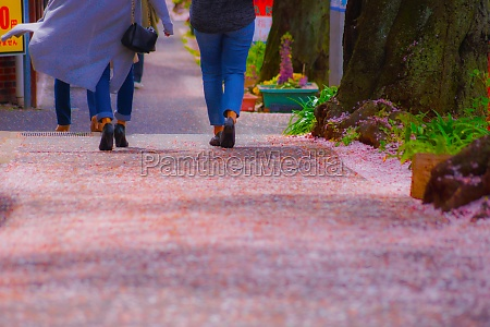 people who walk the cherry blossoms