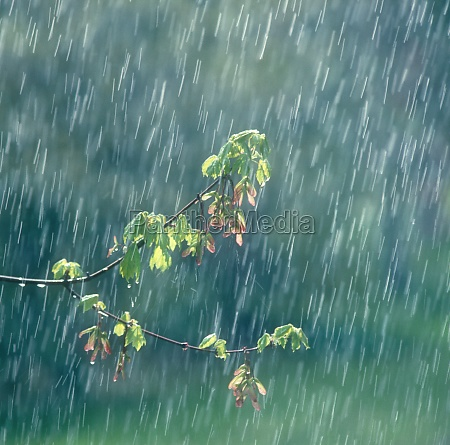spring rain falling on new growth