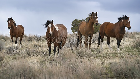 united states oregon wild horses in