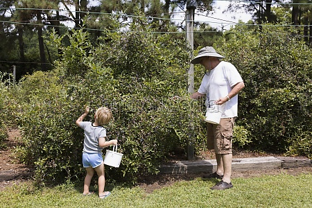 boy and grandfather picking blueberries at