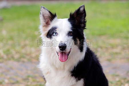 beautiful dog with different eye colors