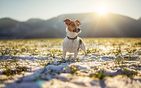 small jack russell terrier stands on
