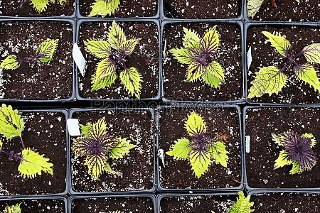closeup view of rows of coleus