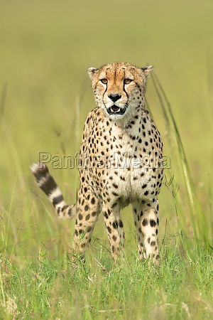 cheetah stands with mouth open in