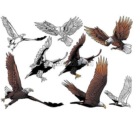 set of flying bald eagle