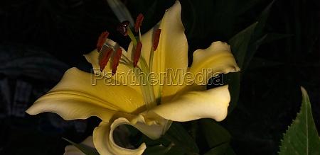 golden lily flower on dark background