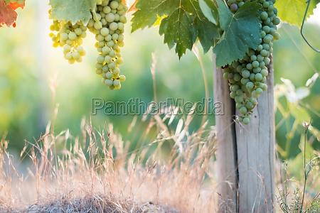 ripe vine grapes on a farm