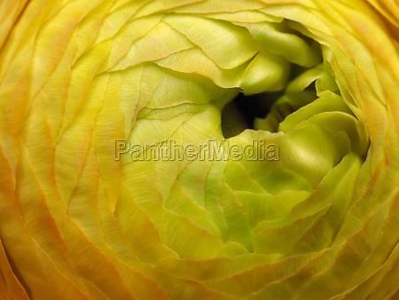macro shot of a ranunculus