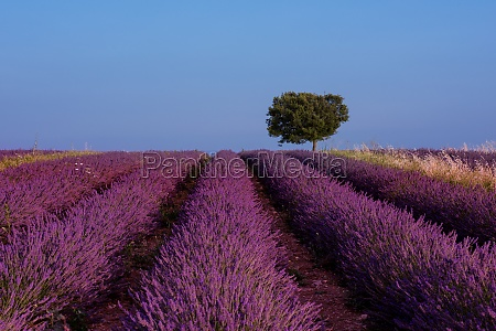 lonely tree at lavender field