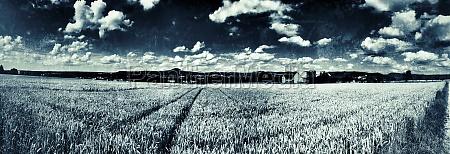 field of rye in retro style