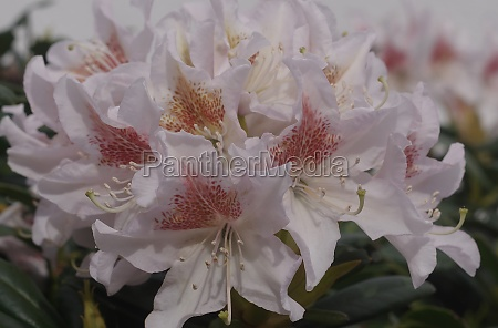 blooming white rhododendron