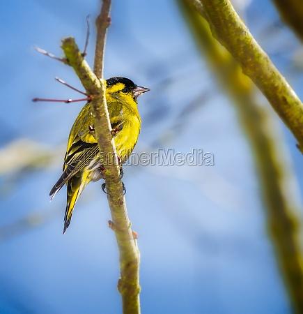 male black headed goldfinch