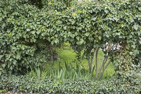 hedge as a natural garden fence