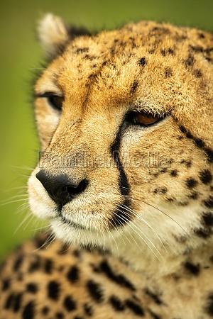 close up of cheetah facing down