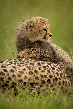 close up of cheetah cub lying