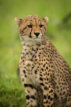 close up of cheetah cub sitting