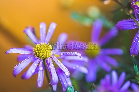 purple flower after rain wallpaper macro