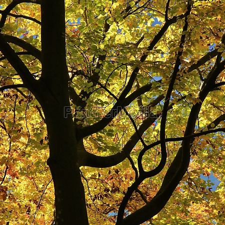 detail of a beech tree in