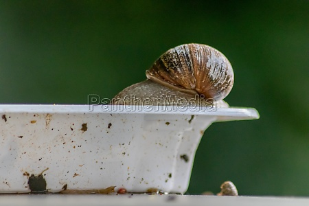 big striped grapevine snail with a