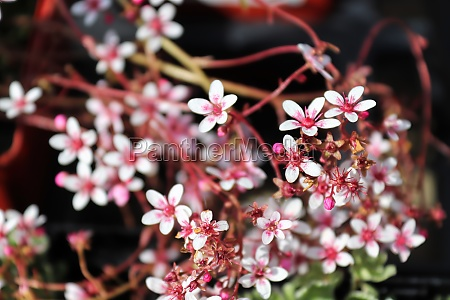 closeup of a cluster of saxifrage