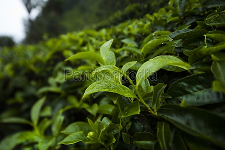 close up of fresh tea leaves