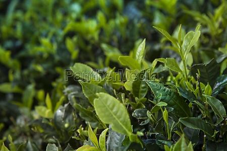 fresh green tea plantation at sri