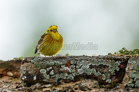 a yellowhammer bird in the wild