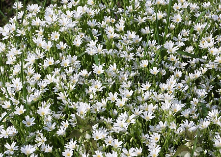 greater stitchwort rabelera holostea white blossoms