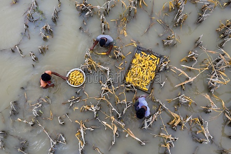 aerial view of people picking corn