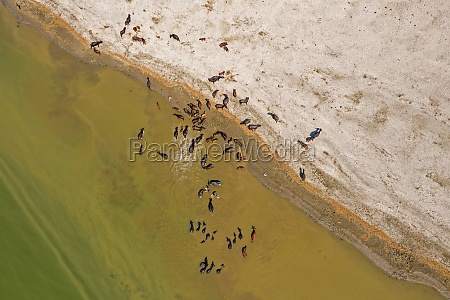 aerial view of a cattle crossing