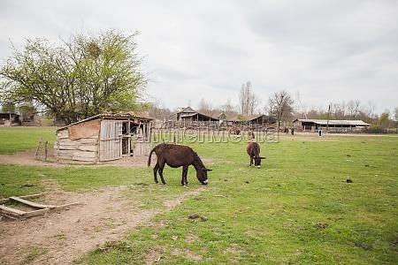 donkeys grazing on pasture domestic animal