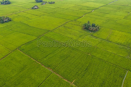 aerial view of the paddy fields