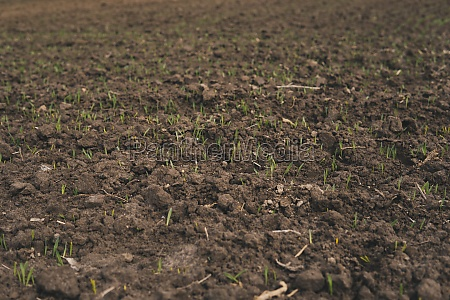 tiny leaves of wheat growing from