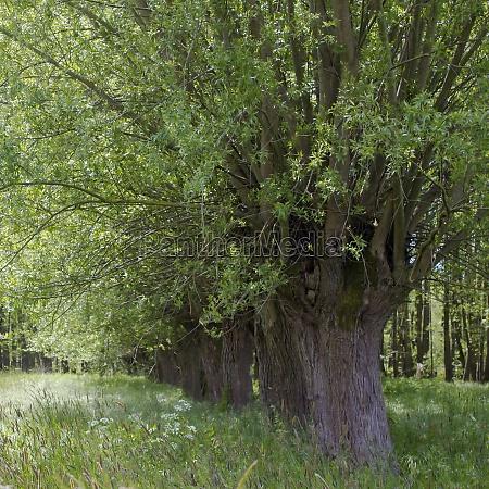 salix caprea willow grove