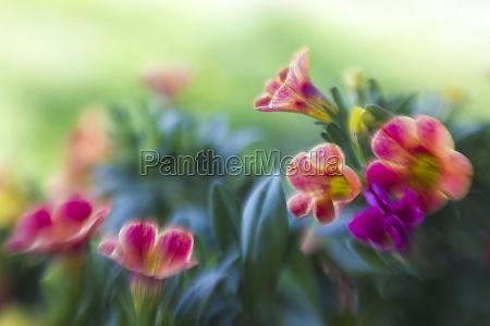 petunia petunia hybrida flowers in the