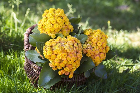 yellow kalanchoe flowers in a basket