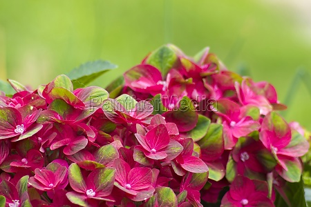 red hortensia flowers in the garden