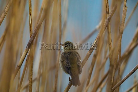 a reed warbler at a river
