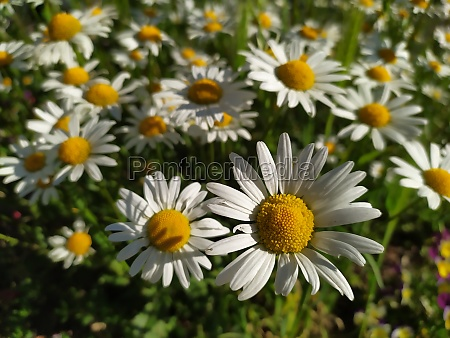 white petals marguerite chamomile flowers in
