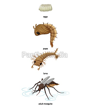 mosquito life cycle on white background