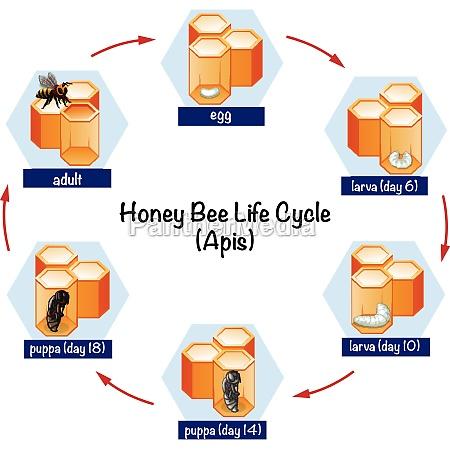 science honey bee life cycle